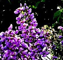 Flor de báalche'.