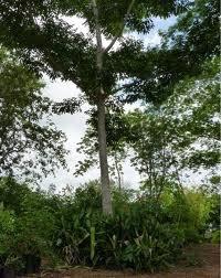 El árbol del báalche' es alto y de corteza lisa.