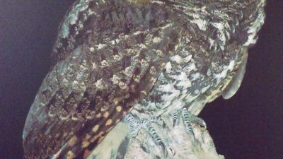 El pájaro pu'ujuy, un misterio en el Mayab