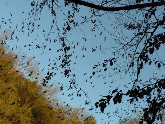 Murciélagos abandonan su guarida al caer la tarde en grutas del Mayab. Fátima Tec